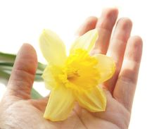 Free Narcissus On A Woman Hand Stock Image - 13693511