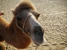 Free Camel Closeup Royalty Free Stock Photography - 13693667