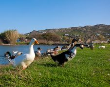 Free Domestic Ducks On Green Grass In Front Of The Lake Stock Images - 13694424