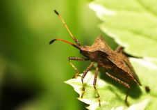 Free Shield Bug Stock Images - 13694814