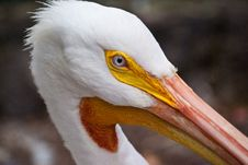 Free Pelican Eye Stock Image - 13694881