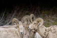 Free Bighorn Rams Huddle Royalty Free Stock Images - 13694999