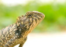 Free Iguana Royalty Free Stock Photos - 13695108