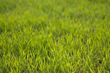 Free The Green Grass Royalty Free Stock Images - 13695129