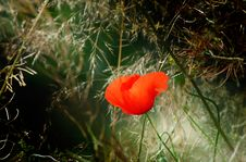 Free Fun Poppy In The Meadow. Royalty Free Stock Image - 13695256