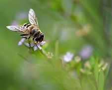 Free Syrphid And Flower Royalty Free Stock Image - 13695516