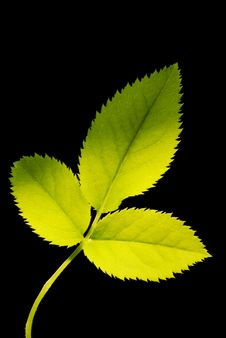 Free Three Green Leafs Royalty Free Stock Image - 13695736