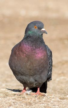 The Pigeon Stock Photos