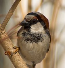 Free The Sparrow Royalty Free Stock Images - 13695899