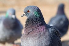 Free The Pigeon Royalty Free Stock Photo - 13695915