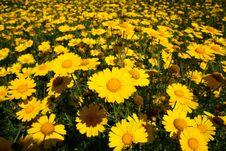 Free Yellow Daisies Stock Image - 13696121