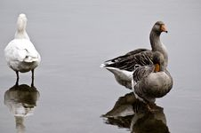 Free Three Goose Stock Images - 13696194