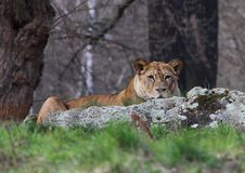 Free Watching Lion Royalty Free Stock Photography - 13696637