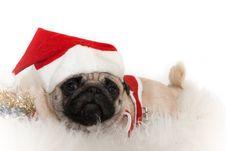 Free Sweet Pug In Santa S Cap Royalty Free Stock Photos - 13697028