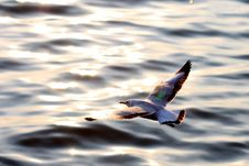 Free Seagull In Flight Stock Image - 13699541