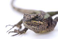 Free Lizard Stock Image - 13699941