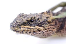 Free Lizard Stock Images - 13699974