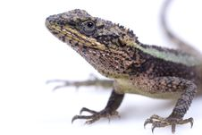 Free Lizard Royalty Free Stock Images - 13699999