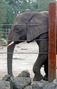 Free An Old And Tired African Elephant Stock Photos - 1370023