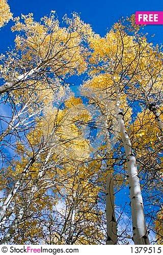 Aspen trees in autumn Stock Photo