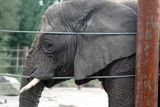 Free An Old And Tired African Elephant Stock Photography - 1370022
