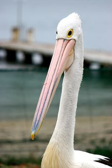 Free Lone Pelican Royalty Free Stock Photo - 1370245