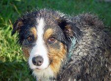 Free Wet Australian Shepherd Stock Images - 1371044