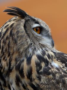 Free Eurasian Eagle Owl Stock Photo - 1371620