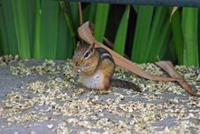 Free Chipmunk Stock Images - 1371704