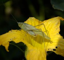 Free Unknown Species Grasshopper Royalty Free Stock Images - 1372339
