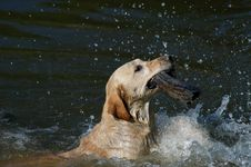 Free Labrador Swimming In The Water Royalty Free Stock Photos - 1372488