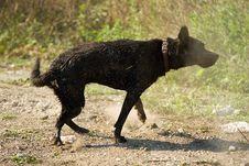 Free Black Labrador Shake Stock Photography - 1373202