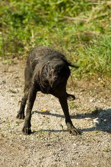 Free Black Labrador Shake Royalty Free Stock Image - 1373226