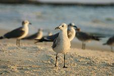 Free Sunset Seagull Stock Photo - 1376070