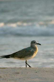 Free Seagull Stock Images - 1376074