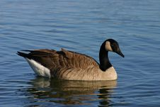 Free The Canada Goose Royalty Free Stock Images - 1376529
