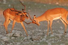 Free Black-faced Impalas Stock Photography - 1377112