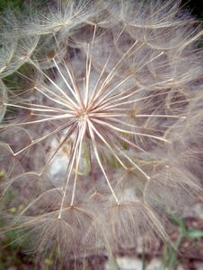 Free Dandelion Royalty Free Stock Images - 1377559