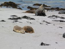 Sea Lions At Kangaroo Island Stock Photography