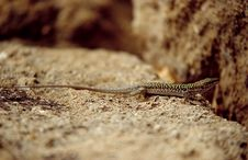 Free Lizard Royalty Free Stock Photography - 1378427