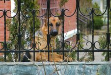 German Sheep-dog Royalty Free Stock Photography