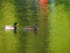 Free Pair Of Ducks Royalty Free Stock Photography - 1378517