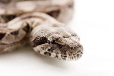 Free Baby Boa Constictor Close-up Royalty Free Stock Image - 1379276