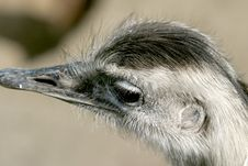 Free Closeup Of The Head Of A Rhea Or Nandu Royalty Free Stock Photography - 1379497