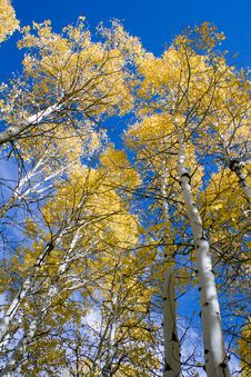 Aspen Trees In Autumn Royalty Free Stock Photo