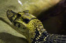 Free Crocodile Royalty Free Stock Photography - 1379787