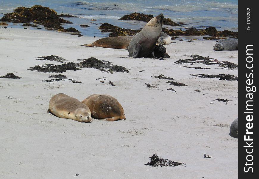 Sea lions at Kangaroo Island