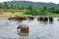 Free Flock Of Elephants In The River Stock Image - 13706711