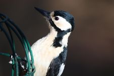 Free Great Spotted Woodpecker (Dendrocopos Major) Stock Photography - 13700432