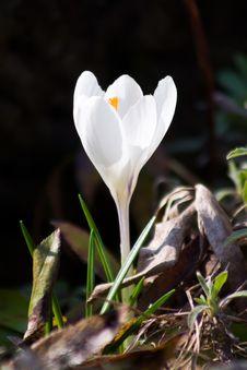 Free White Crocus Stock Image - 13700771